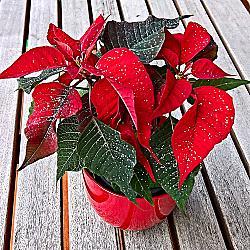Коледната звезда или понсетията е кръстена в чест на своя откривател Джоел Робъртс Пойнсет - американски дипломат, ботаник и лекар, който открил растението по време на дипломатическо пътуване до Мексико.