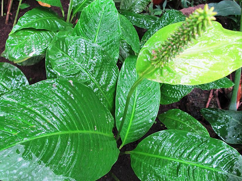 Spathiphyllum blandum