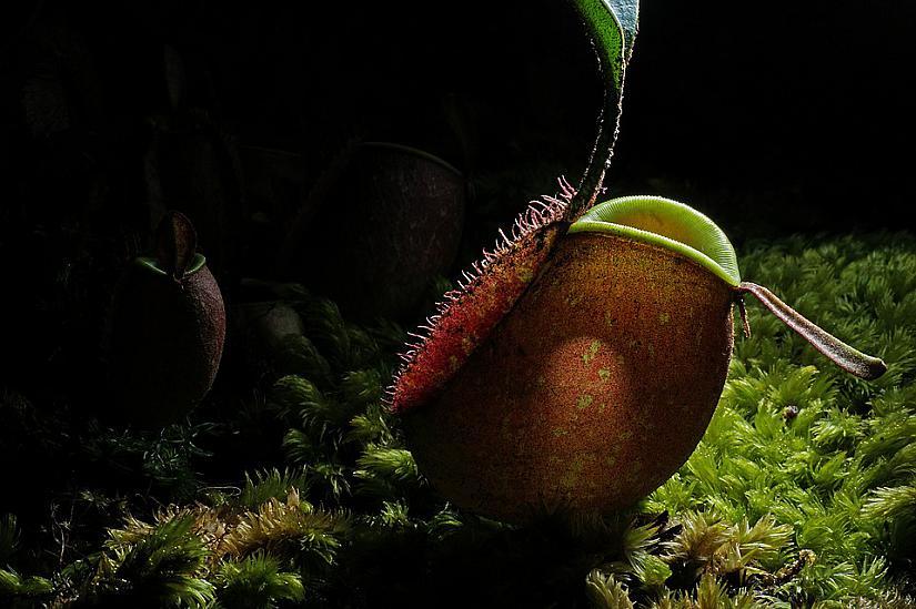 Хищните растения всъщност са много красиви, лесни за отглеждане, полезни и... трябва да ги имате в дома си