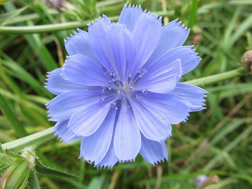 Цикория, синя жлъчка