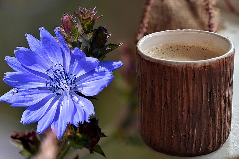 Напитка от цикория - перфектният заместител на кафето