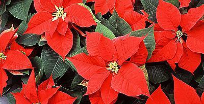 Как да отгледате Коледна звезда, Поансетия (Euphorbia pulcherrima)